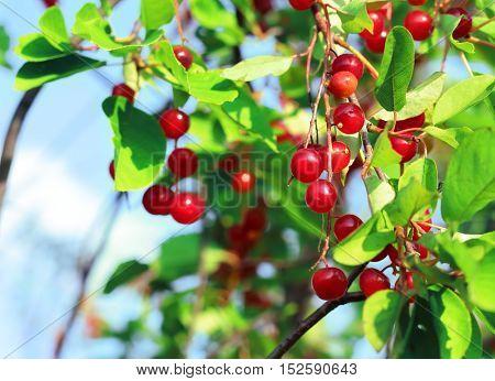 Red chokecherry and green foliage in summer garden. Prunus virginiana