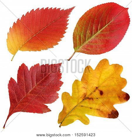 The autumn leaves isolated on a white background. Elm oak hawthorn black-fruited mountain ash.