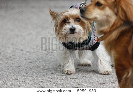 Two dogs going for walk. One in the jumper is starring, otherone in the foreground