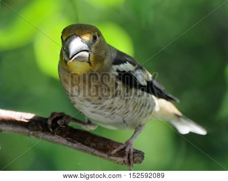 Perching juvenile Hawfinch (Coccothraustes coccothraustes) in June