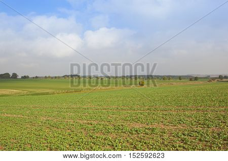 Young Oil Seed Crop