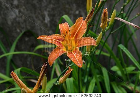 Summer in the garden orange flower prekrastno lily on a green background after the rain