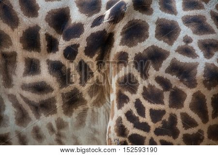 Kordofan giraffe (Giraffa camelopardalis antiquorum), also known as the Central African giraffe. Skin texture. Wildlife animal.