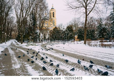 Pigeons sit on sidewalk in front of the Peter and Paul Cathedral in Gomel, Belarus. Winter season