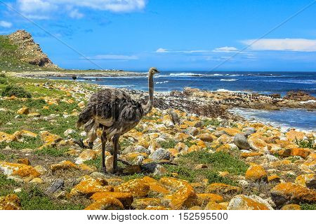 Ostrich, Struthio camelus, in the beautiful coast at the Cape of Good Hope, South Africa. A Wild Ostrich within the Table Mountain National Park, Cape Peninsula.