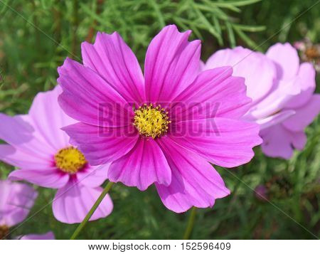 Close-up of blooming vivid pink Mexican Aster flowers in the sunlight