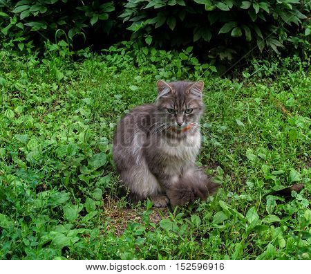 gray domestic cat with green eyes in the garden on the green grass