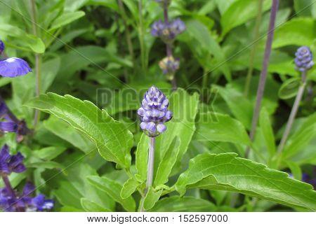 Little lavender flower bud on the bright green leaves in lavender field