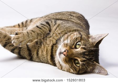 Domestic black and brown striped cat (European shorthair) lying on a white background in a relaxing pose, paw lifted and eyes looking at camera