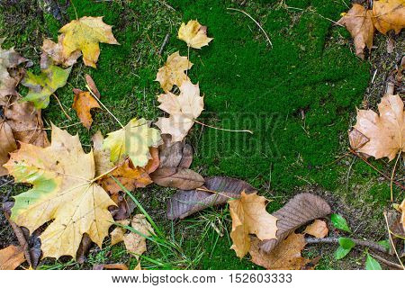 Fallen leaves on green moss, autumn background.