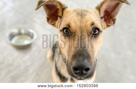 Dog food bowl is an adorable German Shepherd looking and waiting eagerly for his bowl to be filled with food.