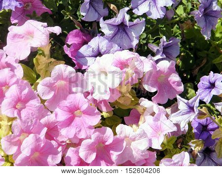 The Petunia flower in park of Ramat Gan Israel October 6 2010