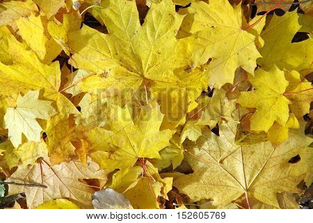 The land is covered with a yellow blanket of fallen leaves.