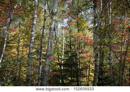 Birch tree trunks and sunny autumn forest with colorful fall foliage. Algonquin Provincial Park, Canada.