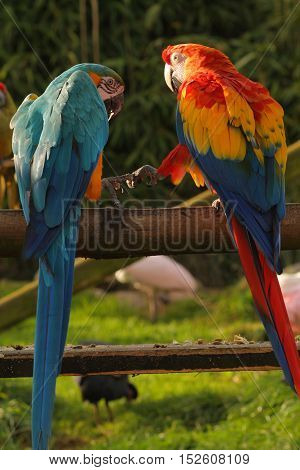 Best friends forever - two macaw pals hand in hand
