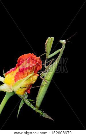 Green Praying Mantis Mantis religiosa sitting on a rosebud isolated on black in its typical pose waiting for insects to catch them. Outside of Europe this species is also called European Mantis.