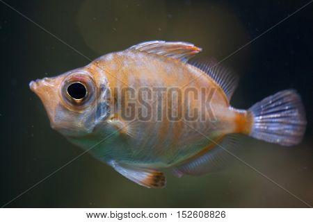 Boarfish (Capros aper). Marine fish.