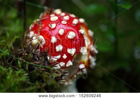 A fly agaric fungi (Amanita muscaria) on forest floor.
