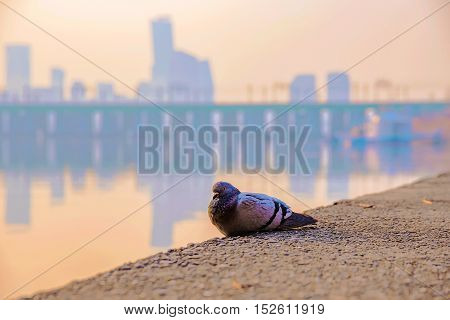 pigeon perched on the Han river bank in Seoul with out of focus buildings in the background
