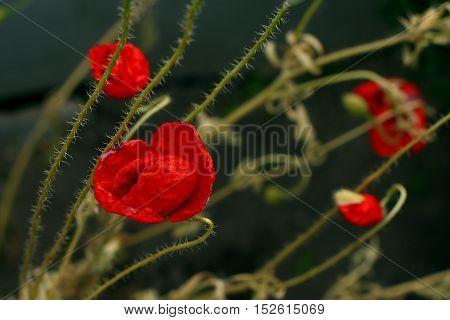 Vivid poppy flowers against a dark background