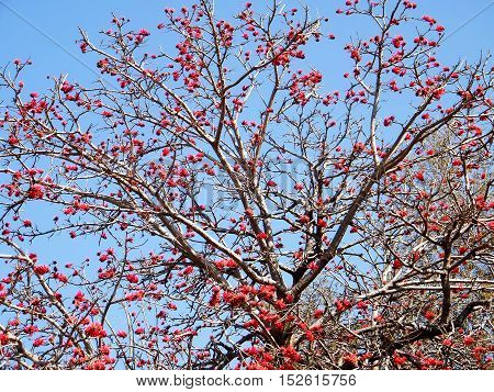 Coral Tree blossom in Wolfson Park of Ramat Gan Israel March 3 2011
