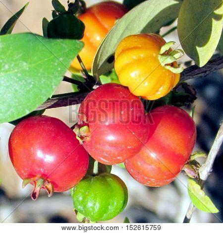 Flacourtia inermis fruit in Wolfson Park of Ramat Gan Israel May 15 2011