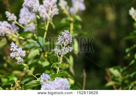 Blossoms of autumn lilac bush (Syringa microphylla) a plant flowering in October.