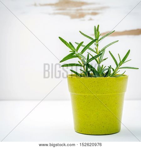 Fresh Rosemary Potted On White Shabby Wooden Background. Rosemary Planted In Pots With Copy Space.