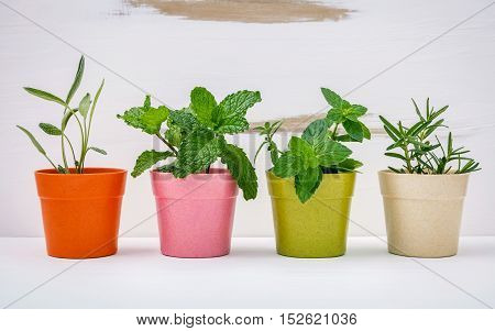 Various Kinds Of Colorful Potted Garden Herbs With White Shabby Wooden Background. Green Mint ,peppe