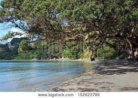 Magnificent and ancient Pohutukawa Tree on Oneroa Beach Waiheke Island in Spring.