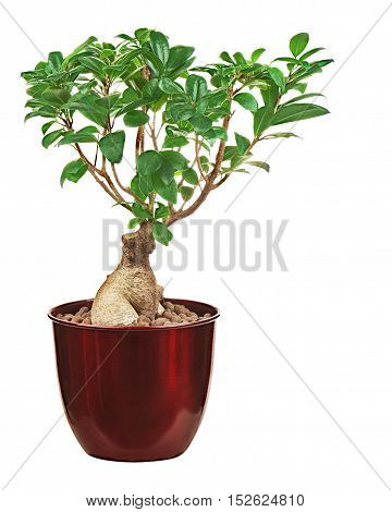 Money tree in vase isolated on white background. Closeup.
