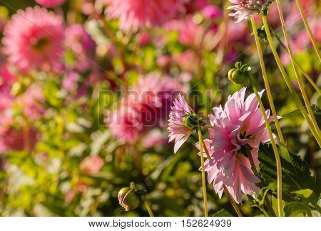 close up of pink dahlia flowers flowerbed