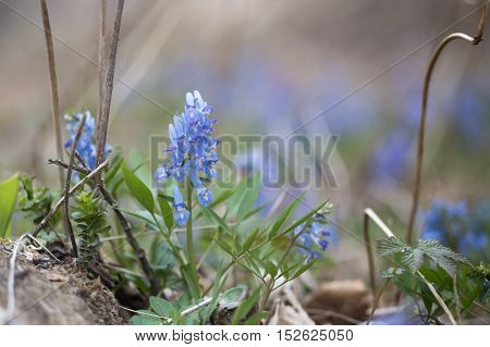 blue flowers in the green grass in the spring, close-up