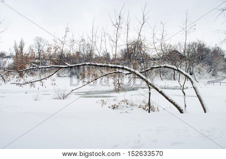 Bent Trees By Winter