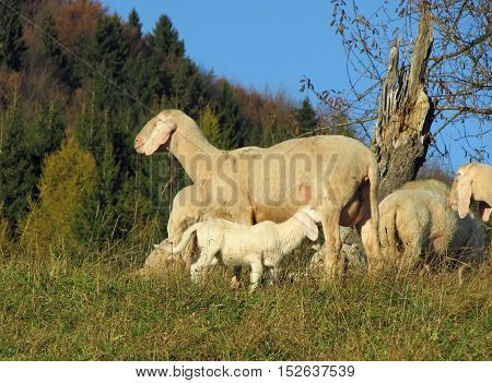 Flock With Sheep Grazing 1