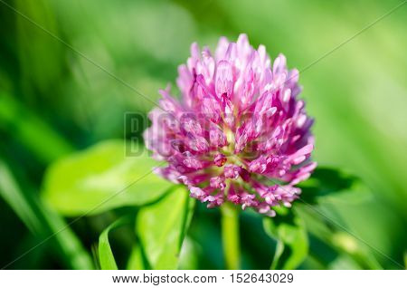 Pink clover flower on green background. Close-up.