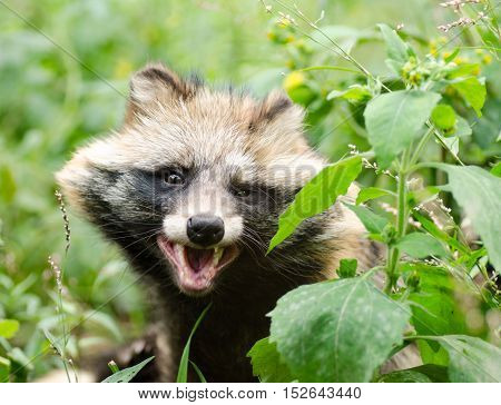 Funny face of smiling raccoon dog in grass.