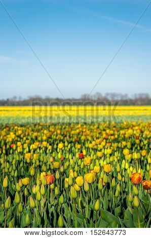 Budding and blooming tulips in varied colors growing in the field of a specialized Dutch tulip bulbs grower. It is a sunny day with a blue sky in the early spring season.