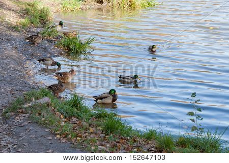 Wild ducks on a pond in the city park in sunny autumn day