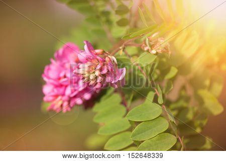 Closeup Photo Of Acacia Flowers