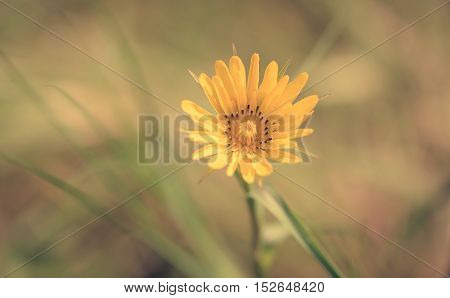 Yellow Wild Flower In The Field