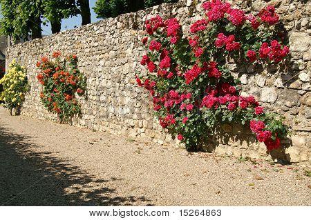 roses in Villandry, France