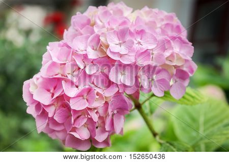 Beautiful pink hydrangea flower in a garden with raindrops on the petals