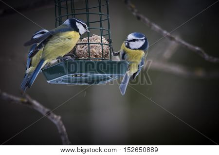 some blue tits sharing a fat ball