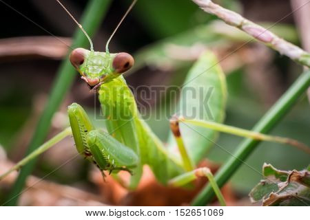 Green Praying Mantis hunting on forest ground
