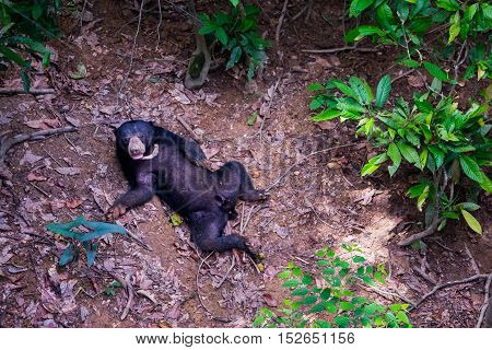 A lonely sun bear is seen lying on the forest floor in Borneo rainforest.