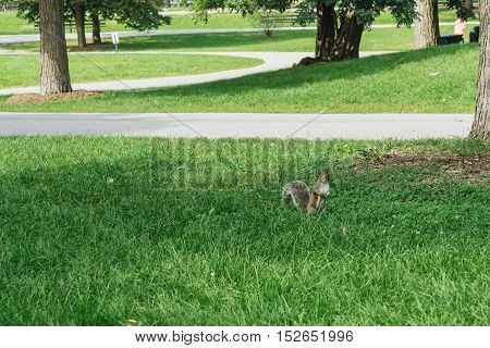 Squirrel on the green grass in the park