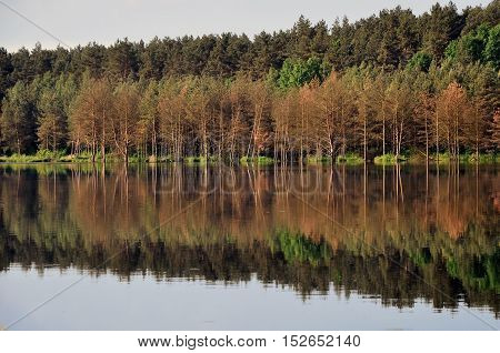 Beach flooded with dry pine forest reflected in the river.