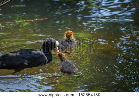 Close up of a little baby coot at the lake. Baby Coots. Coots