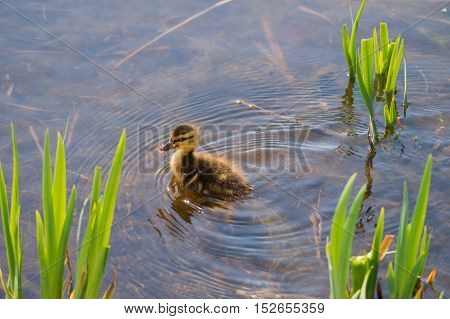 Close up of a little baby duck. Baby ducks at the lake